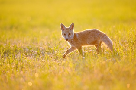 Fox cub on summer sunset