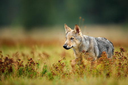 Wolf cub staring in colorful grass