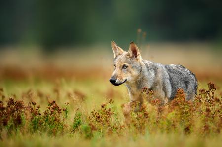 Wolf-welp staren in kleurrijk gras
