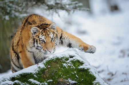 Tiger on snow before attack Stock Photo