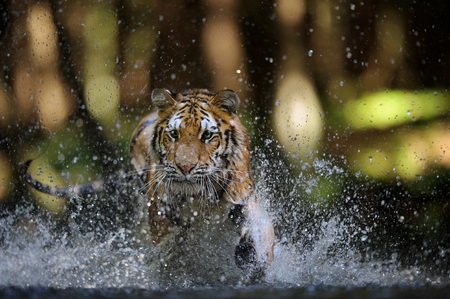 tigresa: Siberian tiger hunting in the river from closeup front view Foto de archivo