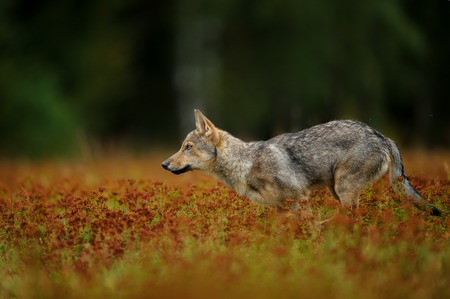 Running wolf in high grass with blossom Stock Photo