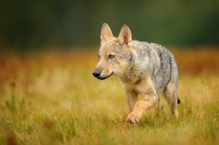 Wolf cub walking on yellow grass. Europe morning meadow with small wolf.