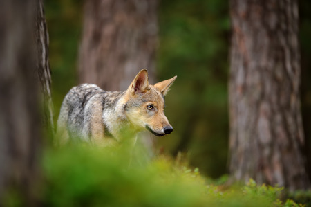 Wolf standing in forest Stock Photo