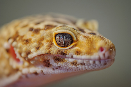 Head from side of common leopard gecko. Lizard Stock Photo