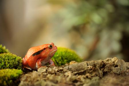 Crapaud rouge de Madagascar - Dyscophus antongilii