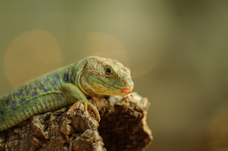 Macro view to ocellated lizard on tree branch Stock Photo