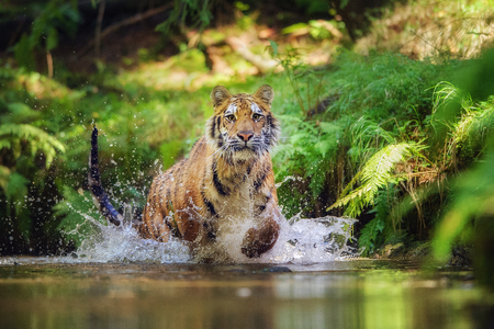 Siberian tiger running in the river. Tiger with hsplashing water Stock Photo