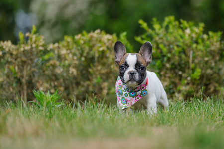 Cute french bulldog puppy outside on grass. Small pet. Best friend.