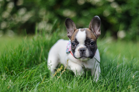 French bulldog from fron view in nature. Photo with bookeh
