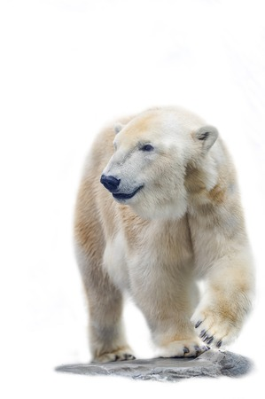 Polar Bear isolated on the white background Banque d'images - 104587404