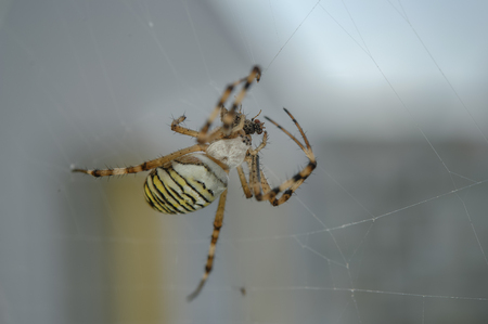 Wasp spider with hunted fly on web