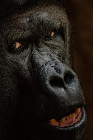 Gorilla face from closeup. Staring danger animal. Closeup big ape.