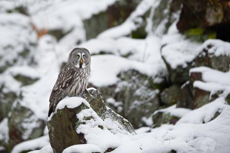 Great grey owl sitting on rock in winter Standard-Bild