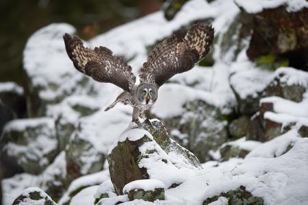 Great grey owl departure frozen in flight