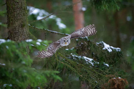 Tawny owl hunting and flying from coniferous tree 写真素材