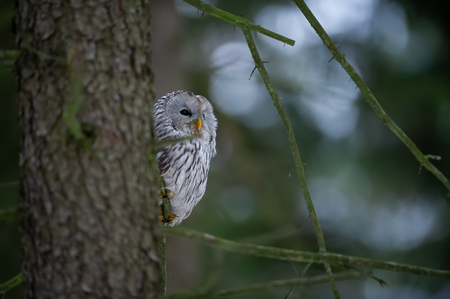 Closeup tawny owl hidding behing tree trunk Stockfoto