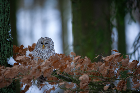 Tawny owl sitting on branch between orange leaves with light in background Standard-Bild
