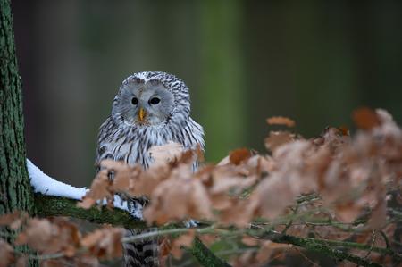 Closeup detail of awny owl sitting on branch between orange leaves Standard-Bild