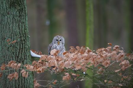 Tawny owl sitting on branch between orange leaves