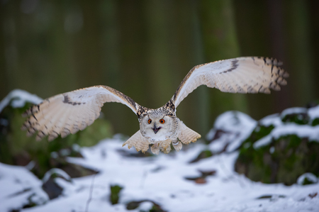 Flying western siberian eagle owl in the forest Imagens