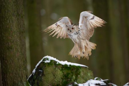 Landing western siberian eagle owl on snowy rock Stock fotó