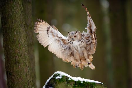 Landing western siberian eagle owl on snowy rock 版權商用圖片