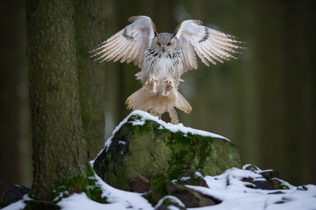 Landing western siberian eagle owl on snowy rock