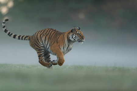 Running tiger on morning green field. Side view to dangerous animal. Tiger profil in agressive run. Siberian tiger Stock Photo