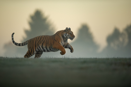 Tiger in jump on morning. Tiger profil in agressive movement. Siberian tiger, Panthera tigris altaica.