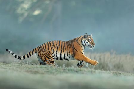 Tigre de Amur corriendo en hábitat natural. Tigre siberiano, Panthera tigris altaica. Fondo azul