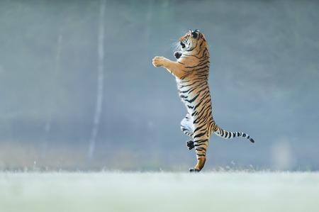 Tigre de pie sobre las patas traseras. No es una pose típica para un gato grande. Tigre bailando. Tigre de Amur. Panthera tigris altaica.
