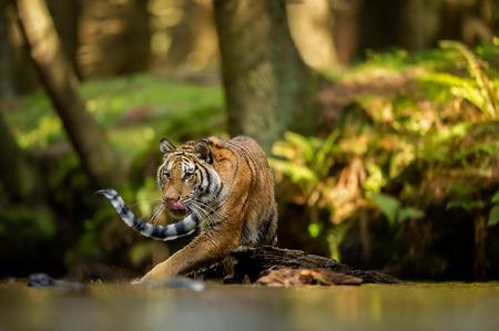 Lamiendo un tigre caminando por el río. Bosque de verano con animales peligrosos. Emoción de hambre. Tigre siberiano Foto de archivo