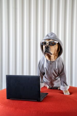 Dog as hacker next to laptop with eyeglasses wearing jacket with hood. Concept of internet security.