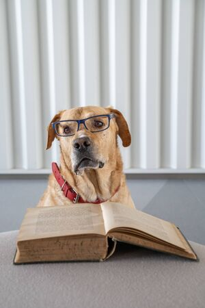 Dog with eyeglasses reading old hradcover book. Learning concept. Banco de Imagens