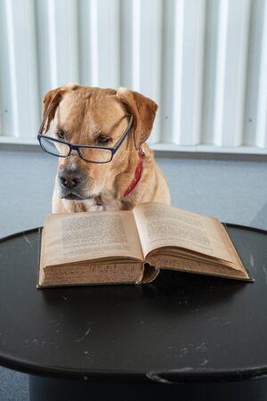 Dog reading book with eyeglasses. Professor behind the book Banco de Imagens