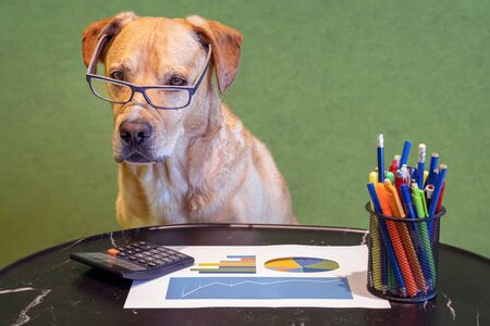 Dog as financial work with report, pens and calculater on table. Dog with eyeglasses. Standard-Bild