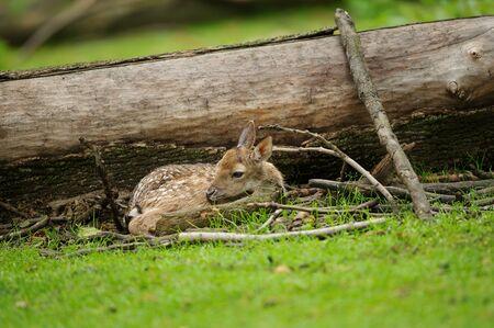 Newborn fallow deer fawn hidden close to the fallen tree Stock fotó