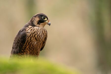 Peregrine Falcon in the nature. Falco peregrinus. Bird of prey. Closeup wild animal.