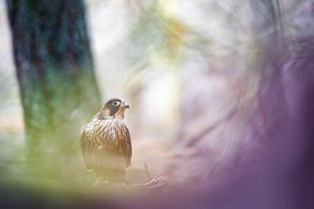 Peregrine Falcon in the fairy tale forest. Falco peregrinus. Artistic color with real bird. Raptor with his prey in unnatural colors