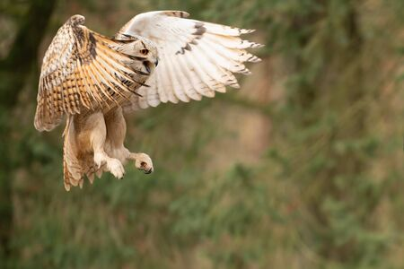 Flying siberian eagle owl shouting with open beak. Bubo bubo sibiricus. Forest animal. Bird of prey in the air.
