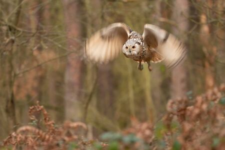 Siberian eagle owl fly in the forest. Longer time exposure with motion blured wings