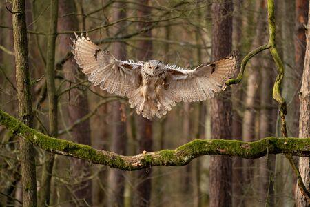Big owl landing to the tree branch. Siberian eagle owl.
