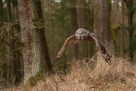 Great grey owl hunting in the forest. Flying owl. Standard-Bild