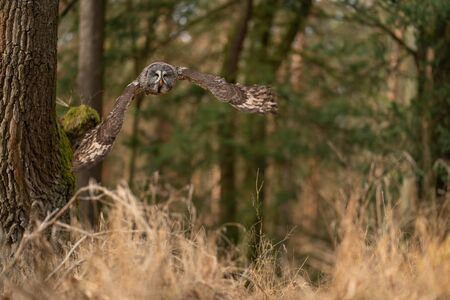 Great grey owl with wide wings frozen in the flight. Strix nebulosa