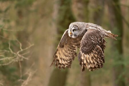 Closeup flying great grey owl from side view with wings in down position. Strix nebulosa