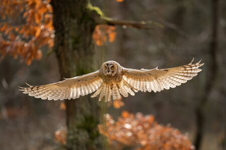 Long-eared owl with wide wings in flight and light bacground in feather. Asio otus