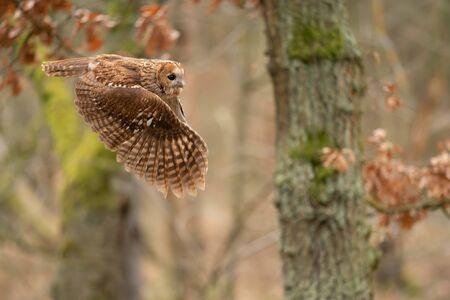 Twany owl in the flight. Side look to flying animal. Standard-Bild