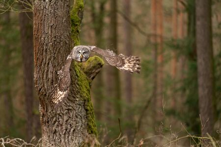 Owl flying close to the tree in the european forest.
