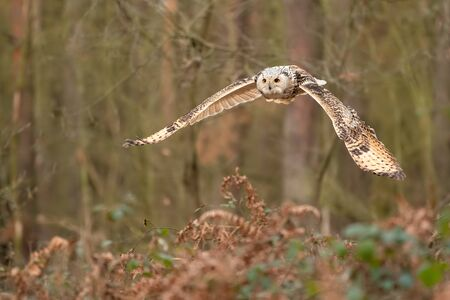 Siberian eagle owl flying in the forest. Bubo bubo sibiricus. Winter nature without snow. Hunter.
